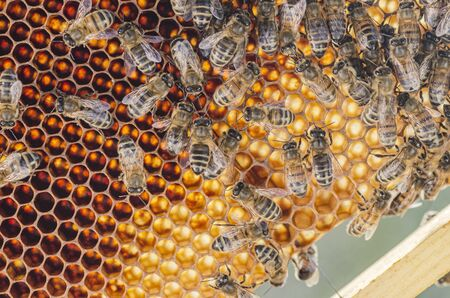 closeup of honey bees on honeycomb in apiary in the summertime