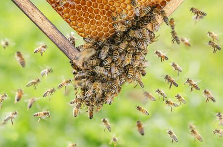honey bees on honeycomb in apiary in the summertime
