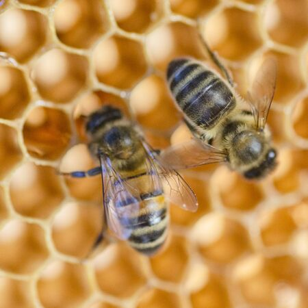 closeup of honey bees on honeycomb in apiary in the summertime Standard-Bild