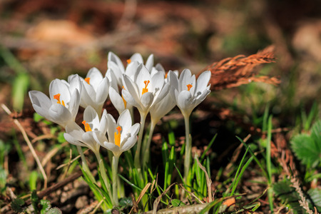 The flowers of saffron in the woods, lit by the spring sun