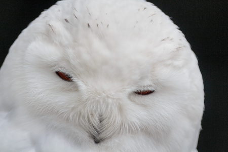 White  Snowy owl head close up Stock Photo