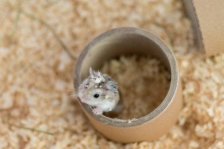 russian hamster: Dwarf Roborovski hamster climbing on paper cylinder