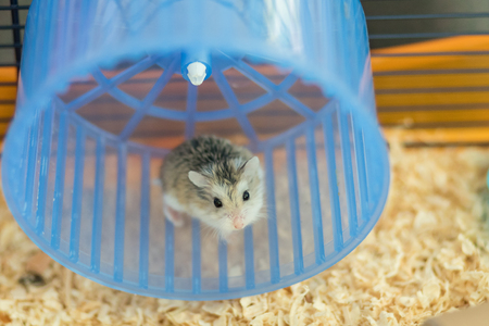 Zwerg Roborovski Hamster im Spinnrad