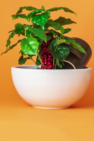 Coffee plant in white pot on orange background 版權商用圖片