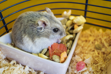 Hamster inside his cage sitting in the bowl of food 版權商用圖片
