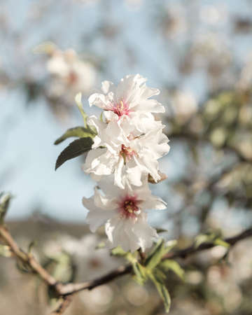 Almond Blossom blooming, Creative, minimal, bright and airy styled concept.