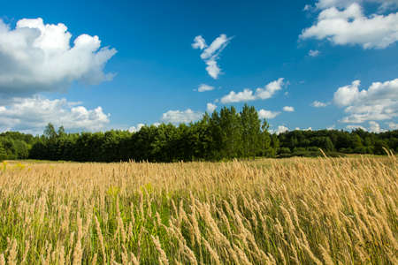 Tall grass in the meadow and green forest
