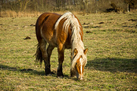 Brown horse with a bright mane