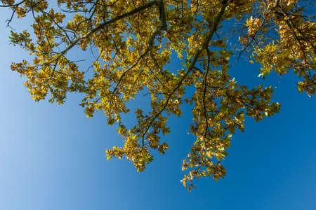 Yellow oak leaves against a cloudless blue sky Standard-Bild