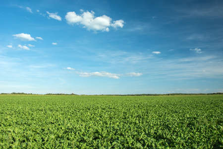 Large field of beets, horizon and blue sky Archivio Fotografico