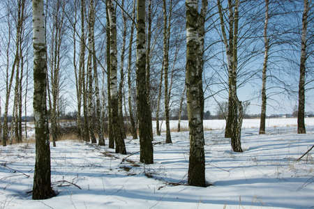 A birch copse on a sunny winter day