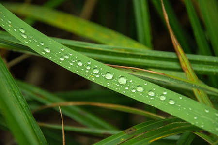 Drops of water on a green grass