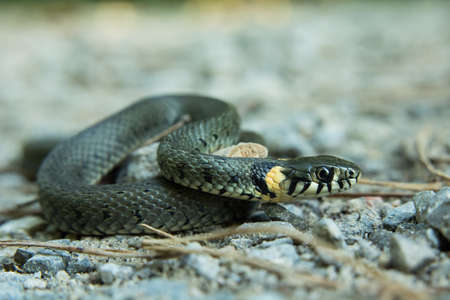 Grass snake, natrix natrix crawling on the ground - closeup 免版税图像