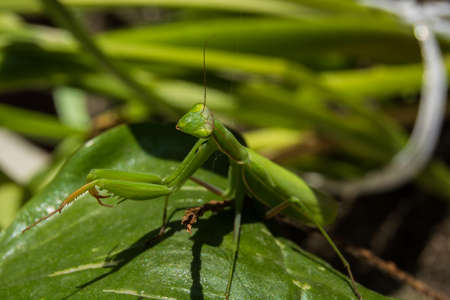 Looking at the lens, a female green mantis in the leaves - portrait