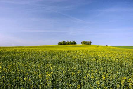 yellow rape field and sky