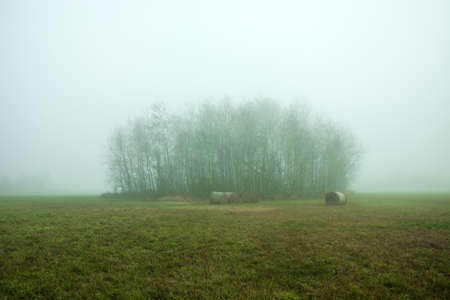 Group of trees - copse in a fog growing on a green meadow