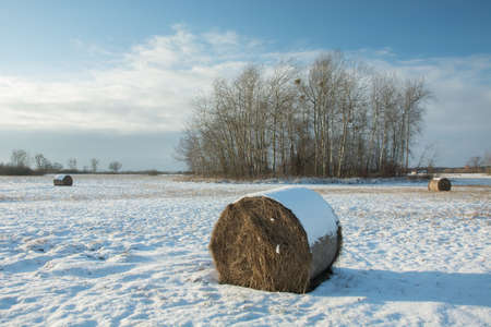 Hay bales lying on a snow-covered field, a copse and a cloud on a blue sky