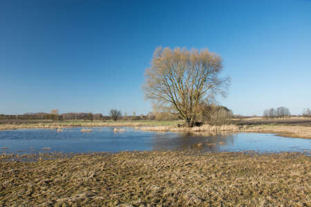 A large tree and water-filled meadow after rain and dry grass - view on a sunny spring day