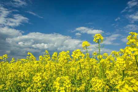 Yellow flowers on a rapeseed field on a close-up and sky Standard-Bild