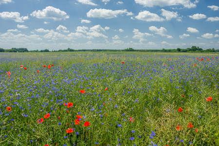Kwiaty bławatka na zielonym polu rzepaku, horyzoncie i niebie Zdjęcie Seryjne