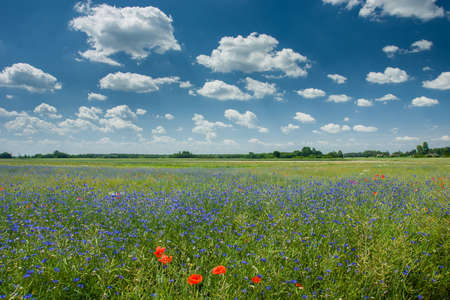 Blue cornflowers growing in a green field of rapeseed, horizon and white clouds on a blue sky