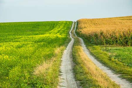 Dirt road uphill between rape and corn fields Фото со стока