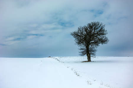 Lonely big tree, snow and cloudy sky 写真素材