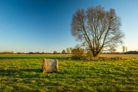 Hay bale on a green meadow, large tree without leaves and blue sky Фото со стока