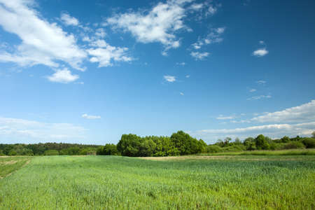 Green cereal in a field, forest and white clouds on a blue sky