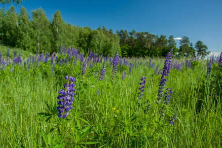Violet lupine flowers growing on a green meadow, trees and blue clear sky.