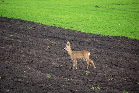 Roe deer standing in a dark plowed field Reklamní fotografie
