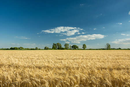 Field with cereal horizon and blue sky. Nowiny, Poland