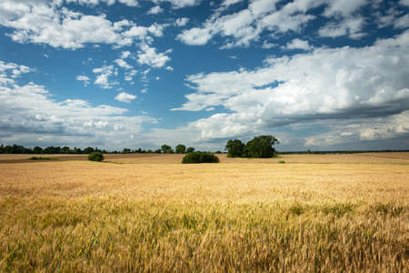 Golden grain field, horizon and white clouds in the blue sky Stock Photo