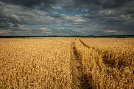Traces of tractor wheels in the grain, horizon and dark clouds in the sky