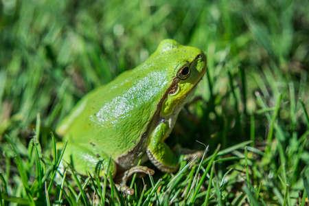 Green european tree frog sitting in the grass - closeup
