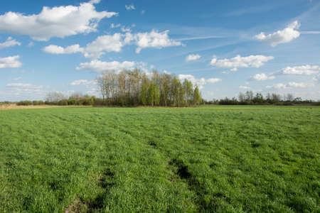 Wheel tracks on a green meadow and shrubbery, white clouds on blue sky - view on a sunny spring day