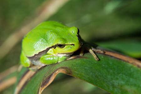 Beautiful european tree frog sitting on a leaf - closeup