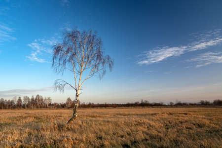 Lonely birch tree without leaves in the meadow and the sky after sunset