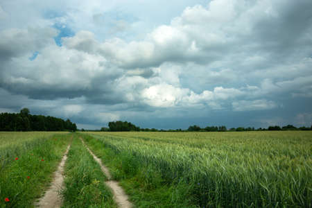 Dirt road through a field with green grain and dark rainy clouds on the sky
