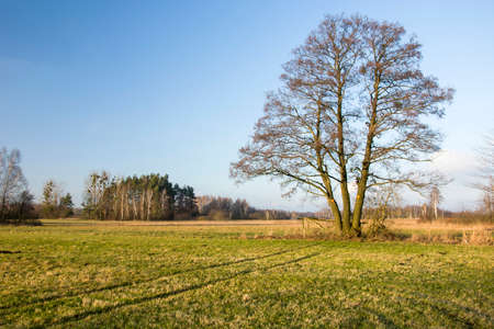 Large tree without leaves on a green meadow and blue sky, Nowiny, Poland Stockfoto