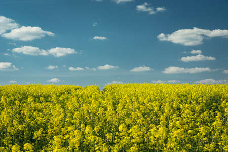 Yellow rapeseed field, white clouds on blue sky on sunny spring day