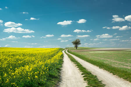 A long dirt road by yellow rapeseed field, lonely tree and white clouds on blue sky, beautiful spring countryside view