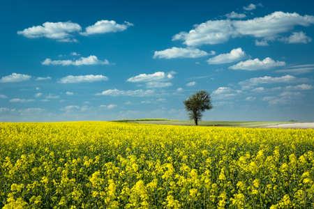 Enkele boom in een geel verkrachtingsveld, witte wolken op blauwe lucht Stockfoto