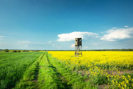 A hunting pulpit in rapeseed on a dirt road and white clouds on blue sky, spring rural view