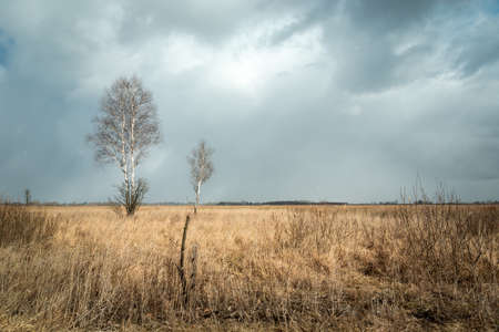 Birch trees without leaves and dry grass, cloudy skies