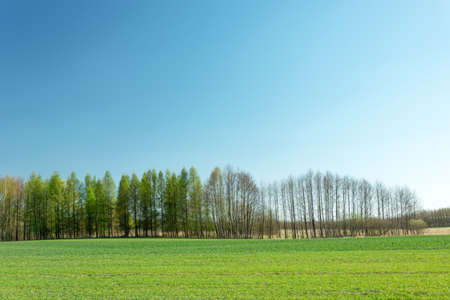 Green field strip, tree line and cloudless blue sky, spring view