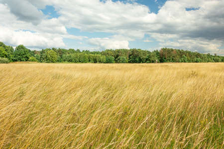 Yellow tall grasses in the meadow, green forest and bright sky Stok Fotoğraf