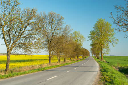 Trees on an asphalt road and a rape field, spring view