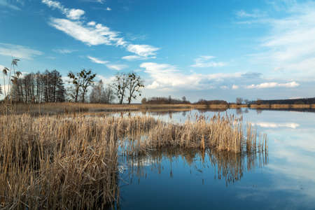 Dry reeds growing in a calm lake, white clouds on the blue sky, sunny march view Banque d'images