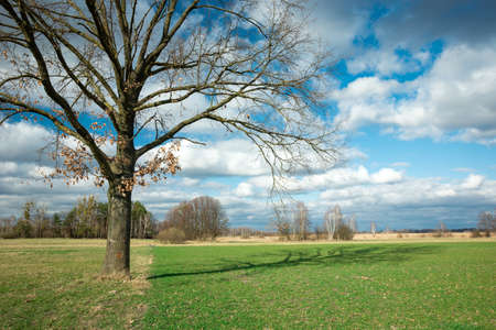 Large oak without leaves and its shadow, green field and clouds in the sky